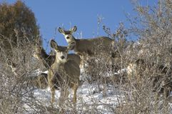 Winter deer. Winter herd of Colorado white tail deer in the high country Royalty Free Stock Photography