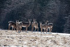Winter Deer. Deer gather in a snowy meadow in Upstate New York Stock Photo