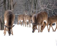 Winter Deer Stock Photos