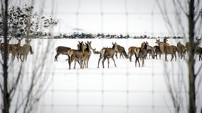 Winter deer Stock Photography