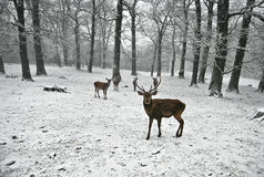 Winter Deers. Photo of a group of deers taken in a forest in winter Stock Image