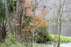 Winter in dem silbernen Fluss in Ocala, Florida Stockfotografie