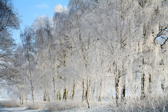 Winter in denmark. In the morning sun in winter in denmark, a field with trees royalty free stock photos