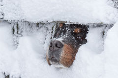 Winter depression of a dog. Big dog looking through a snow-coverd fence Royalty Free Stock Image