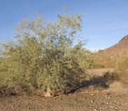 Winter in Desert Preserve, Phoenix, AZ Royalty Free Stock Image
