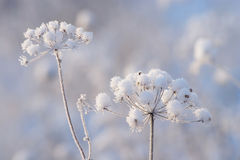 Winter Detail. Dry wild flowers covered with fresh snow on blurred background in cold sunny winter morning Royalty Free Stock Photos