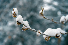 Winter details. Frost and soft snow on plants at a cold winter day Stock Photo