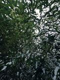 Green and white. leaves and snow. bamboo tree. Winter details. frozen leaves , and snow. green and white. perfect snowflakes. bamboo tree Royalty Free Stock Photo