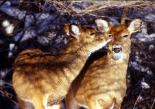 Winter Does. Two whitetail deer does in winter cold grooming one another royalty free stock photo