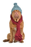 Winter dog with hat and scarf Royalty Free Stock Image
