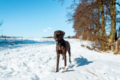 Winter dog. Dog in winter landscape covered with snow Stock Image
