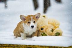 Dog puppy corgi pembroke royalty free stock image