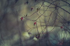 Winter dog-rose Royalty Free Stock Photography