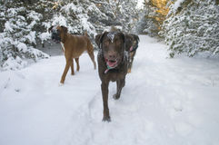 Winter Dog Walk Royalty Free Stock Photos