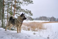 Winter Doggy royalty free stock image