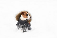 Winter doggy fashion: dog wearing apparel with fur collar Royalty Free Stock Image