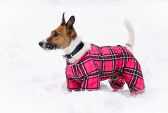 Winter doggy fashion. Royalty Free Stock Images