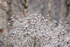 Winter dogrose Royalty Free Stock Image