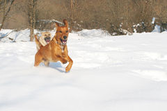 Winter Dogs Stock Images
