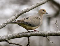 Winter dove. Mourning dove in winter day in the Missouri Ozarks Royalty Free Stock Images