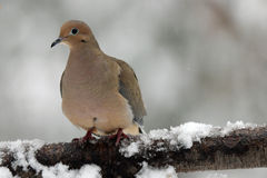 Winter Dove. A mourning dove (Zenaida macroura) perching on a snowy branch in winter Stock Images