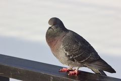 Winter dove on railing royalty free stock images