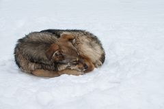 Winter dreams of a stray dog royalty free stock photography