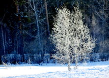 In a winter dress. In the winter of a birch put on a winter dress from snow Royalty Free Stock Photos
