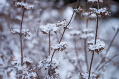 Winter dry frosty brown grass covered with white snow Stock Images
