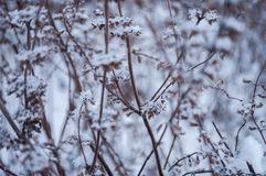 Winter dry frosty brown grass covered with white snow Royalty Free Stock Photography
