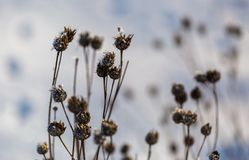 Winter dry plants with rime close up Royalty Free Stock Image