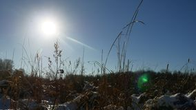 Winter dry silhouette grass in the snow field landscape snow nature royalty free stock image