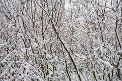 Winter dry vegetation tree branches and leaves frosty covered with snow. And ice royalty free stock photo