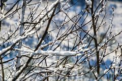 Winter dry vegetation tree branches and leaves frosty covered with snow. And ice stock image