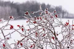Winter dry vegetation tree branches and leaves frosty covered with snow. And ice stock photo