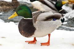 Winter Duck Stock Images