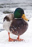 Winter duck. A male duck on a frozen pond Royalty Free Stock Photo