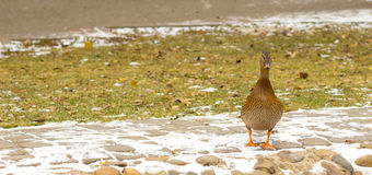 Winter duck Royalty Free Stock Images
