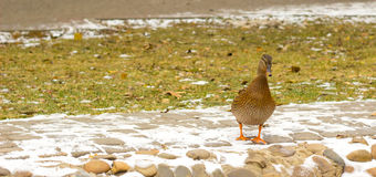 Winter duck. The beauty of nature of Ukraine, duck in the open air in winter is very beautiful Royalty Free Stock Photos