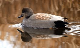 Winter duck on a lost lagoon stock images