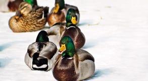 Winter Ducks Stock Photo