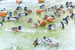 Winter Ducks Royalty Free Stock Photography