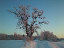 Winter-Eiche Stockbilder
