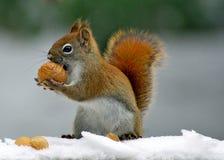 Winter-Eichhörnchen Stockbilder