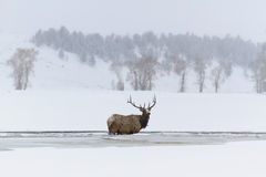 Winter Elk Royalty Free Stock Image