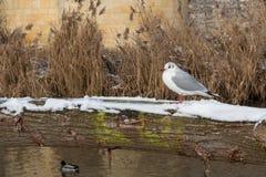 Winter enjoyiong der wild lebenden Tiere in Maastricht lizenzfreie stockbilder