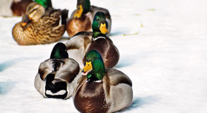 Winter-Enten Stockfoto