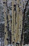 Winter-Espen Lizenzfreie Stockbilder