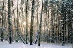 Winter evening in forest Royalty Free Stock Photo