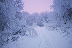 Winter Evening Forest Royalty Free Stock Photography